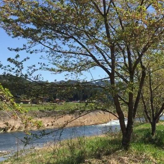 映像商品 桜と川の景色