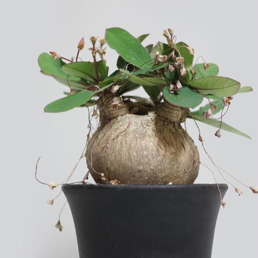 ユーフォルビア sp. マダガスカル 豚足6本枝