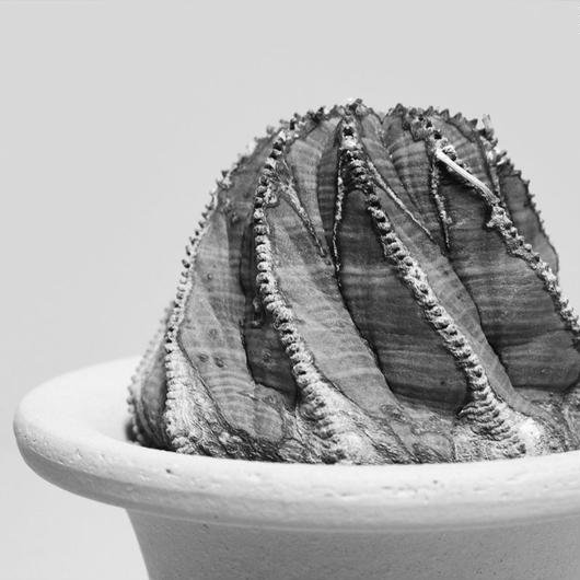 ユーフォルビア バリダ 螺旋