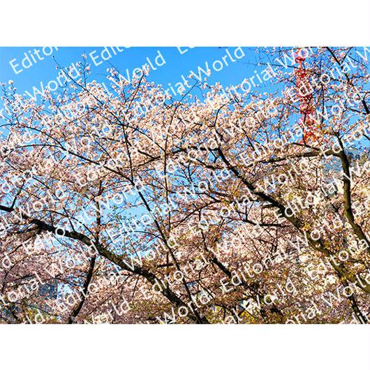 靭公園の桜 3