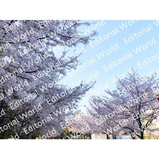 靭公園の桜 5