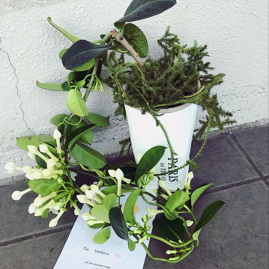 マダガスカルジャスミンの鉢植え