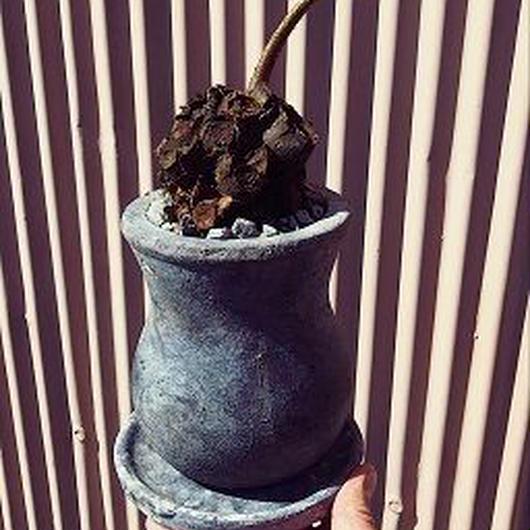 リュウビンタイの鉢植え
