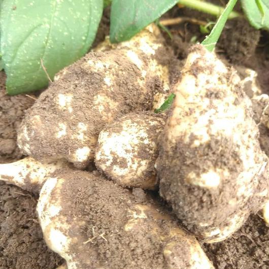 土つき菊芋2kgで(レシピ付き)