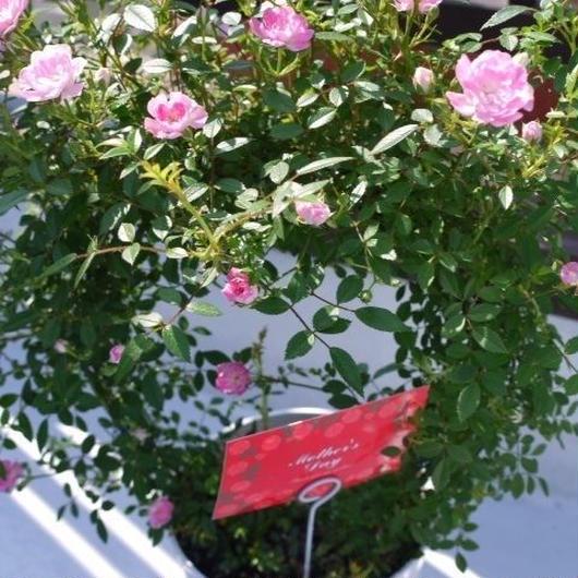 母の日 フラワーギフト バラの鉢植え 5400円