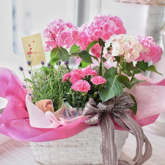母の日 紫陽花とラベンダーの寄せ籠(鉢植え) 8640円