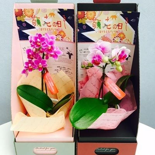 マイクロ胡蝶蘭シングル 2.5号 2WAYテーブルBOX入り 敬老の日仕様