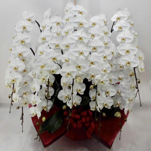 大輪胡蝶蘭10本立 ハイグレード