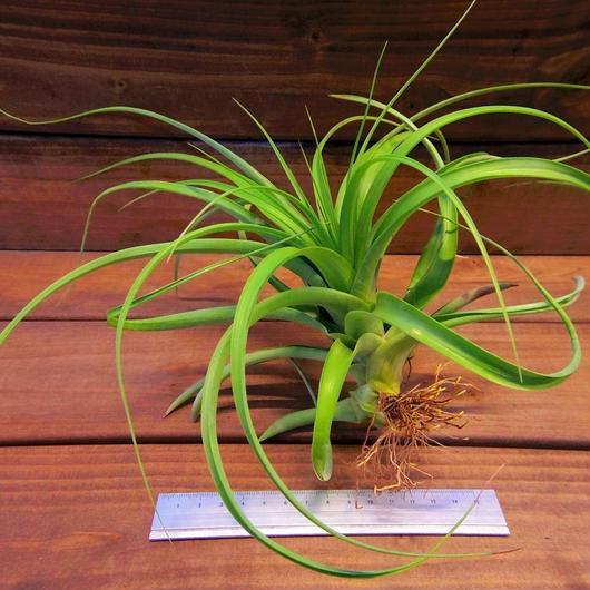 チランジア / ケゲリアナ × ロシー (T.kegeliana × T.rothii)