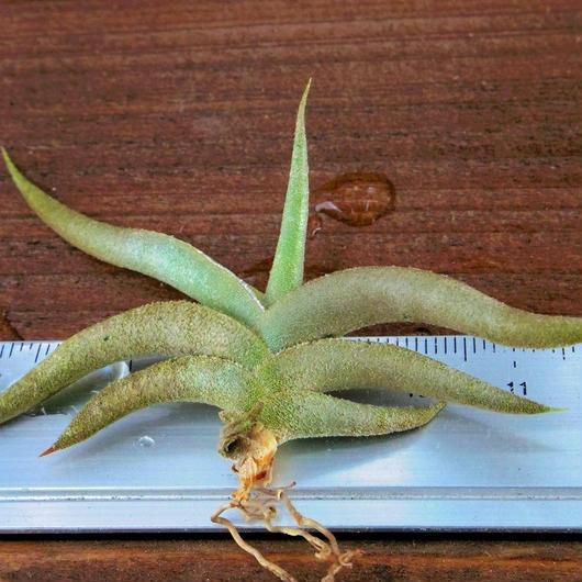 チランジア / テネブラ (T.tenebra )