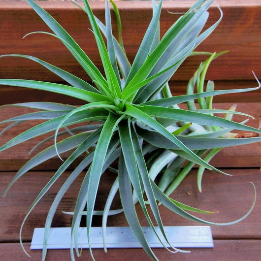チランジア / ラティフォリア XLサイズ (T.latifolia  var. major)