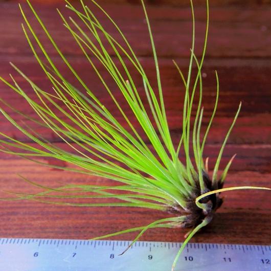 チランジア / フィリフォリア (T.filifolia)