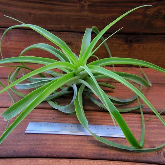 チランジア / カクティコラ (T.cacticola 'Open Form')