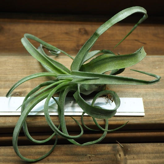 チランジア / ストレプトフィラ Mサイズ (T.streptophylla)  No-01