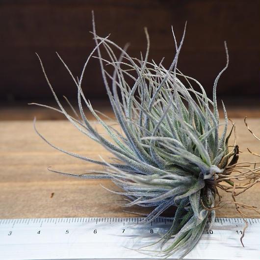 チランジア / エーレルシアナ CL (T.ehlersiana)