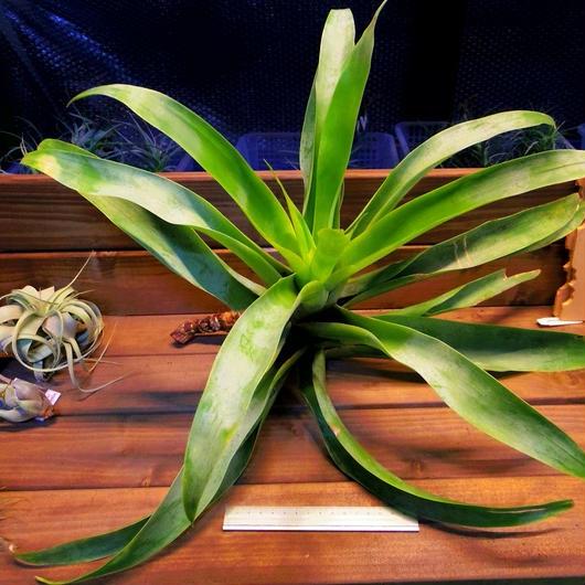 チランジア / リーマニー (T.lymanii)