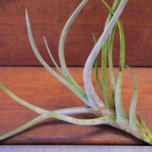 チランジア / グラブリオール (T.glabrior)