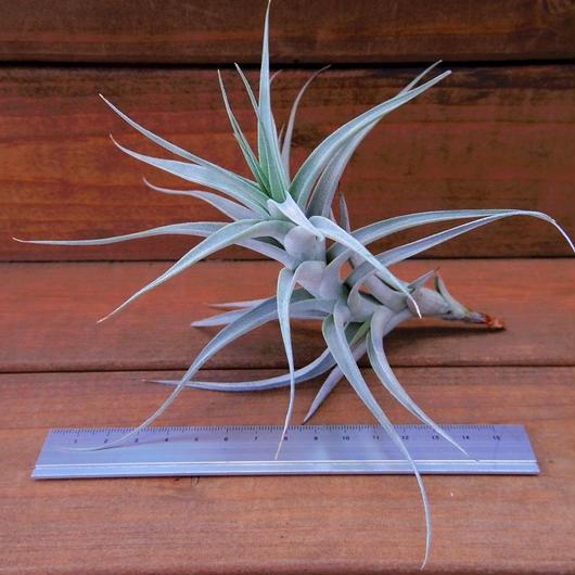 チランジア / アルビダ Lサイズ (T.albida)
