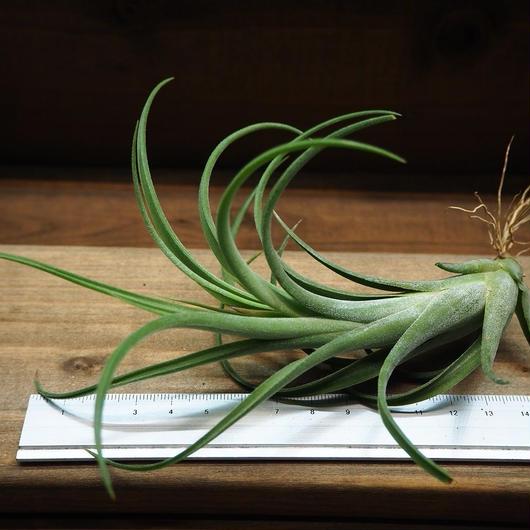 チランジア / パウシフォリア レッドハイブリッド (T.paucifolia 'Red Hybrid')