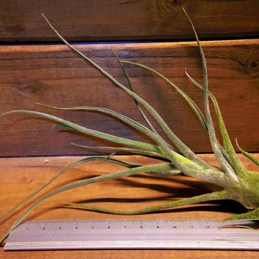 チランジア / プルイノーサ コロンビアフォーム (T.pruinosa Colombia Form)