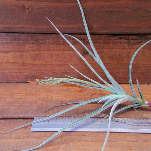 チランジア / カリギノーサ × クロカータ ※開花株・子株付き (T.caliginosa × T.crocata)