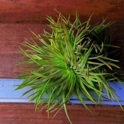 チランジア / イオナンタ クレステッドフォーム (T.ionantha 'Crested Form')