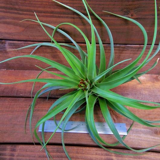 チランジア / ブラキカウロス ジャイアントグリーン (T.brachycaulos 'Giant Green')