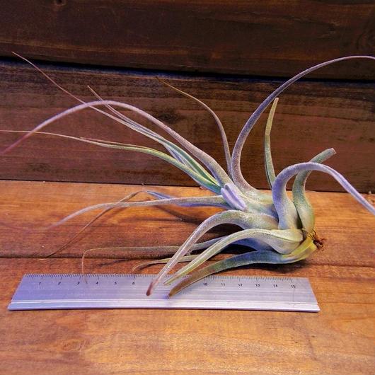 チランジア / エーレルシアナ XLサイズ (T.ehlersiana)