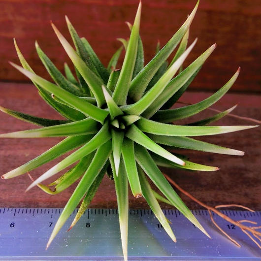 チランジア / イオナンタ アルボマージナータ (T.ionantha 'Albo-Marginata')
