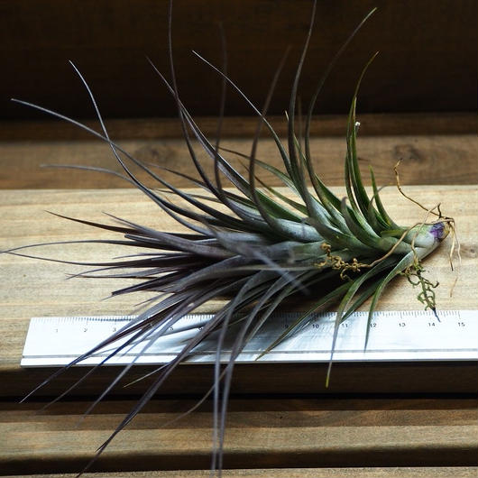 チランジア / テヌイフォリア アメシスト Lサイズ (T.tenuifolia var. amethyst)