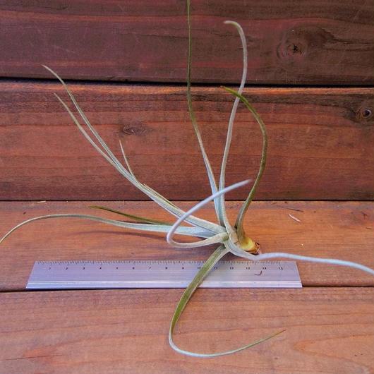チランジア / トルティリス (T.tortilis)