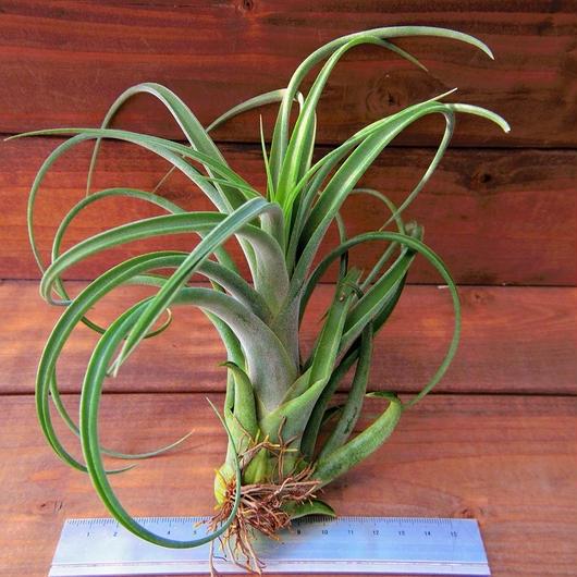 チランジア / カプトメドーサ × ブラキカウロス (T.caput-medusae × T.brachycaulos)