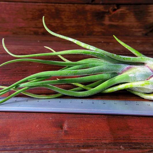 チランジア / カプトメドーサ Lサイズ (T.caput-medusae)