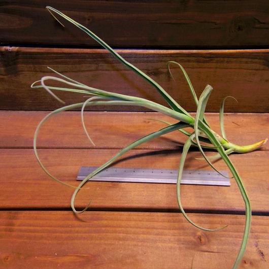 チランジア / アリザ (T.arhiza)