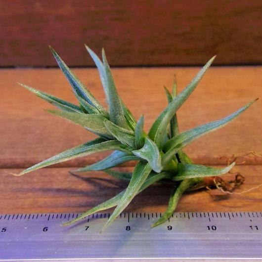 チランジア / フネブリス (T.funebris) ※子株付き