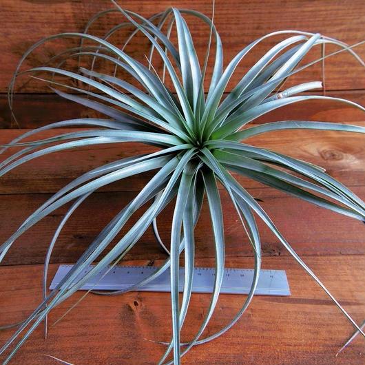 チランジア / ヴェルニコーサ ジャイアント フォーム (T.vernicosa 'Giant Form')