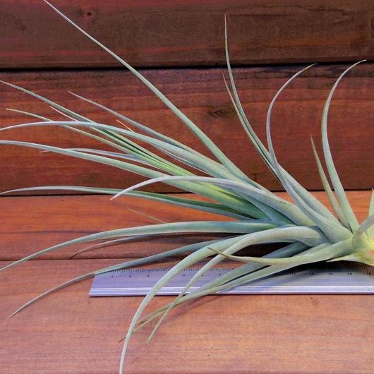 チランジア / イキシオイデス × ライヘンバッキー (T.ixioides × T.reichenbachii)