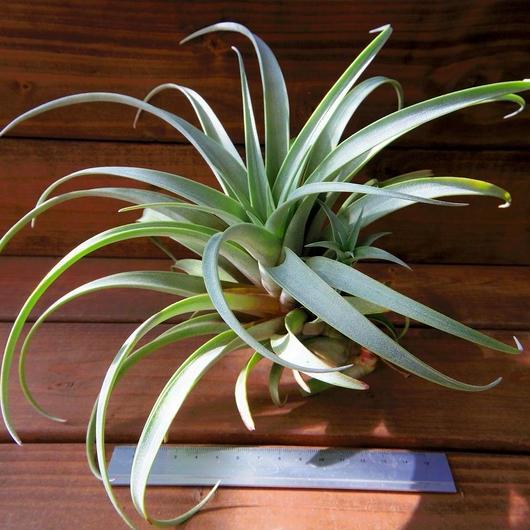 チランジア / ロゼオスカパ XL (T.roseoscapa)