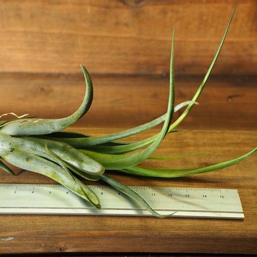 チランジア / シルシナトイデス (T.circinnatoides)