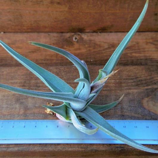 チランジア / クシフィオイデス トメントセ (T.xiphioides 'Tomentose')  No2