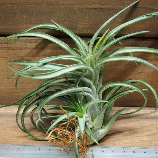 チランジア / イオナンタ × ブラキカウロス (T.ionantha × T.brachycaulos)
