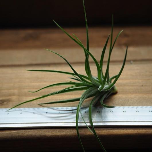 チランジア / ストリクタ グリーン (T.stricta 'Green')