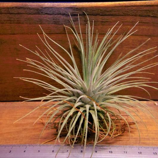 チランジア / フクシー フクシー (T.fuchsii var. fuchsii)