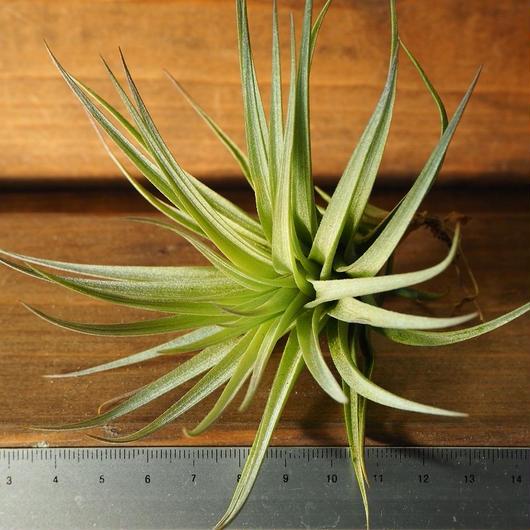 チランジア / ストリクタ コンフェチ (T.stricta 'Confetti')