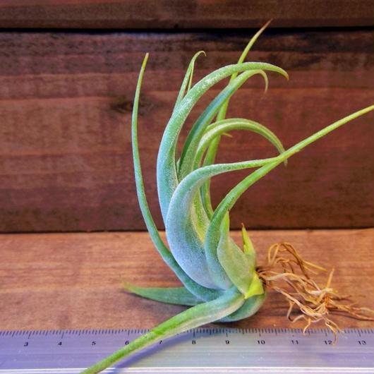 チランジア / パウシフォリア (T.paucifolia)