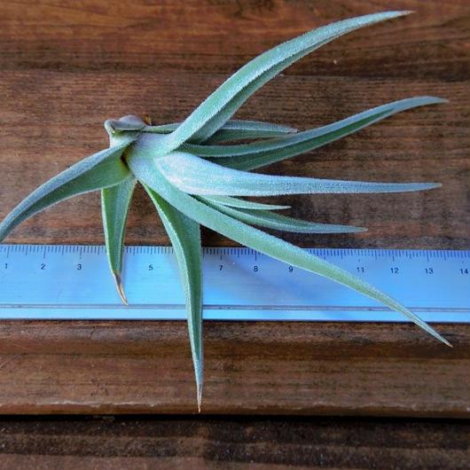 チランジア / クシフィオイデス トメントセ (T.xiphioides 'Tomentose')