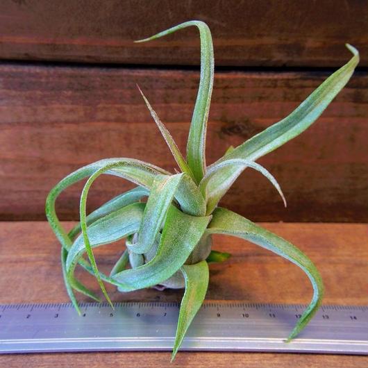 チランジア / ストレプトフィラ Mサイズ (T.streptophylla)
