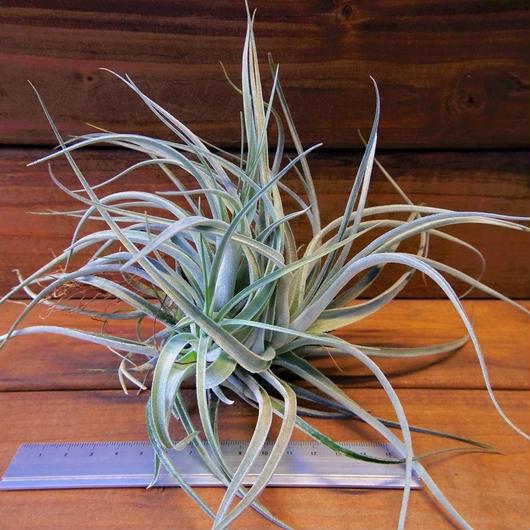 チランジア / レクルヴィフォリア × ガルドネリー (T.recurvifolia × T.gardneri) ※子株多数付き