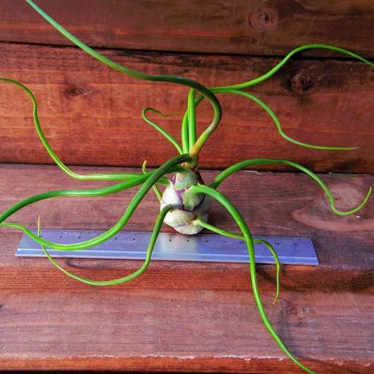 チランジア / ブルボーサ ベリーズ (T.bulbosa 'Belize')