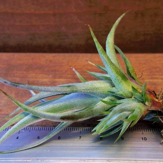 チランジア / クシフィオイデス ※子株付き (T.xiphioides)